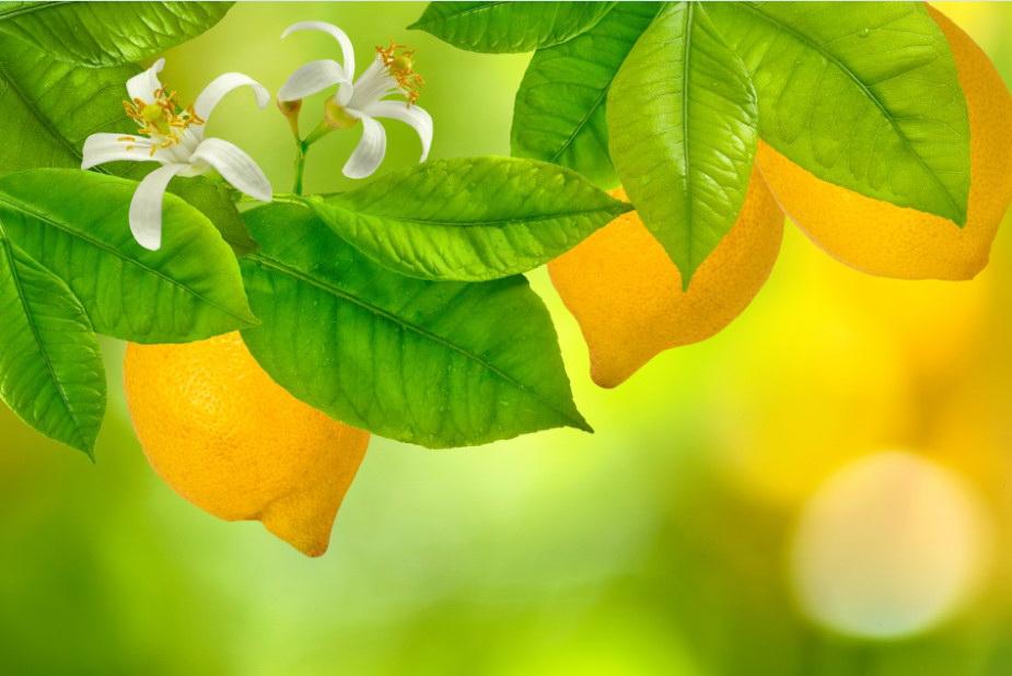 Фотообои Лимон