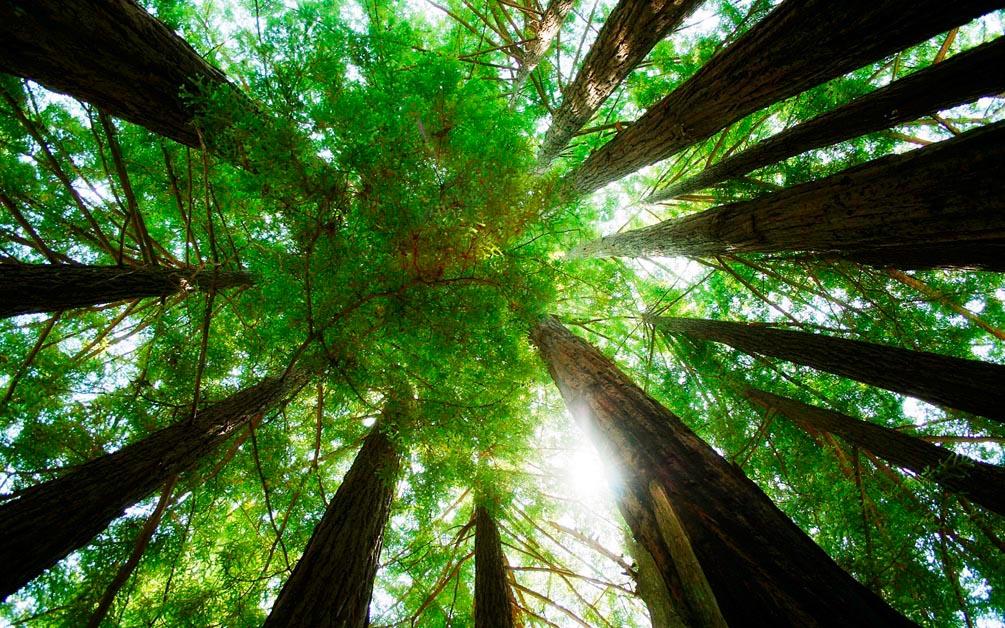 Фотообои Деревья, вверх