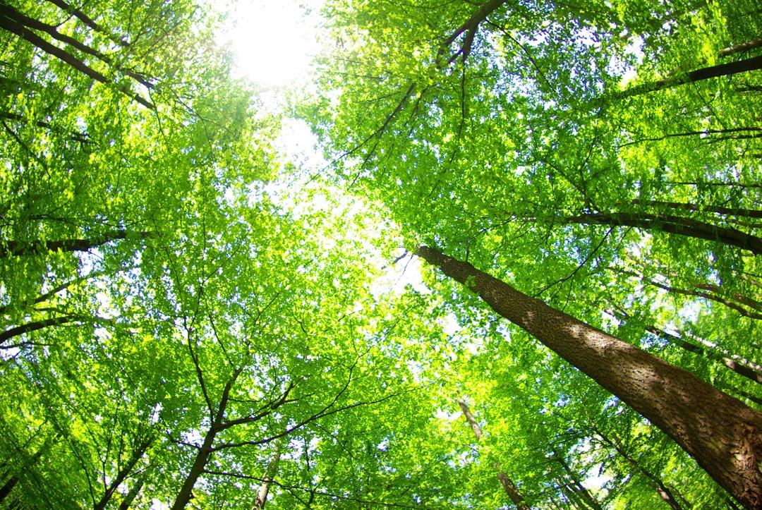 Фотообои верхушки деревьев
