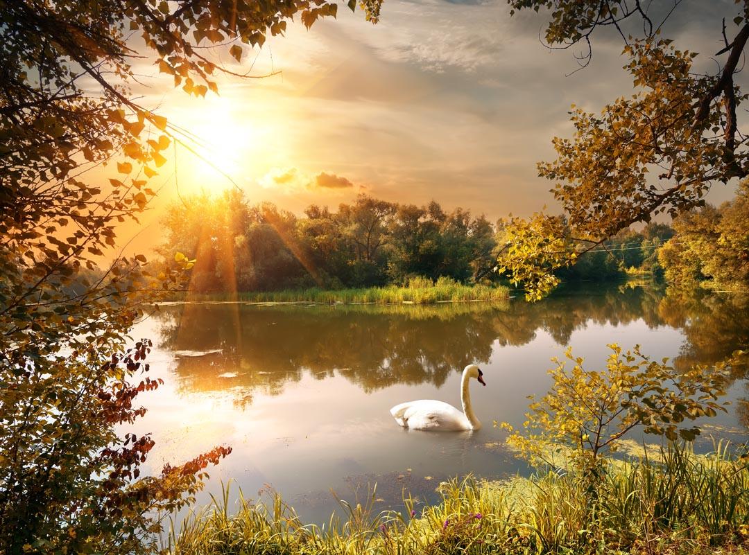 Фотообои лебедь на озере