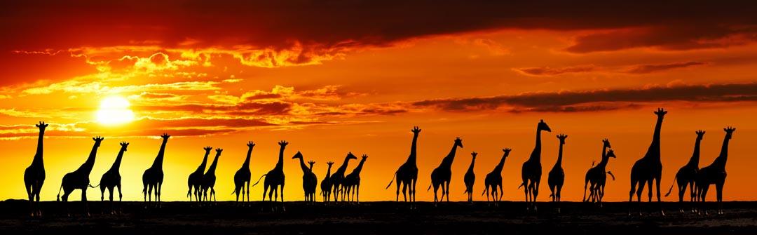 Фотообои много жирафов и закат