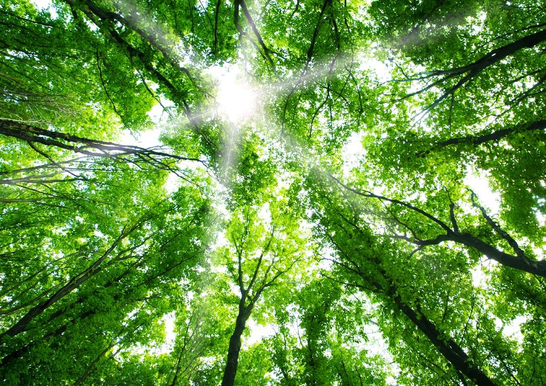 Фотообои свет свозь кроны деревьев