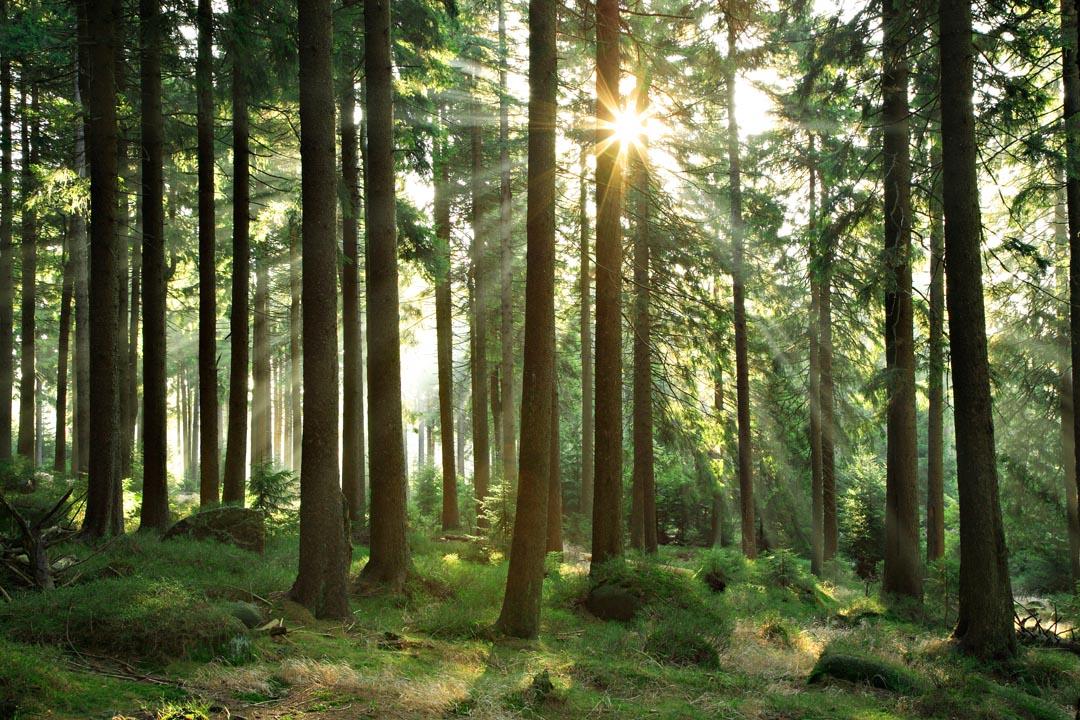 Фотообои лес со стройными деревьями