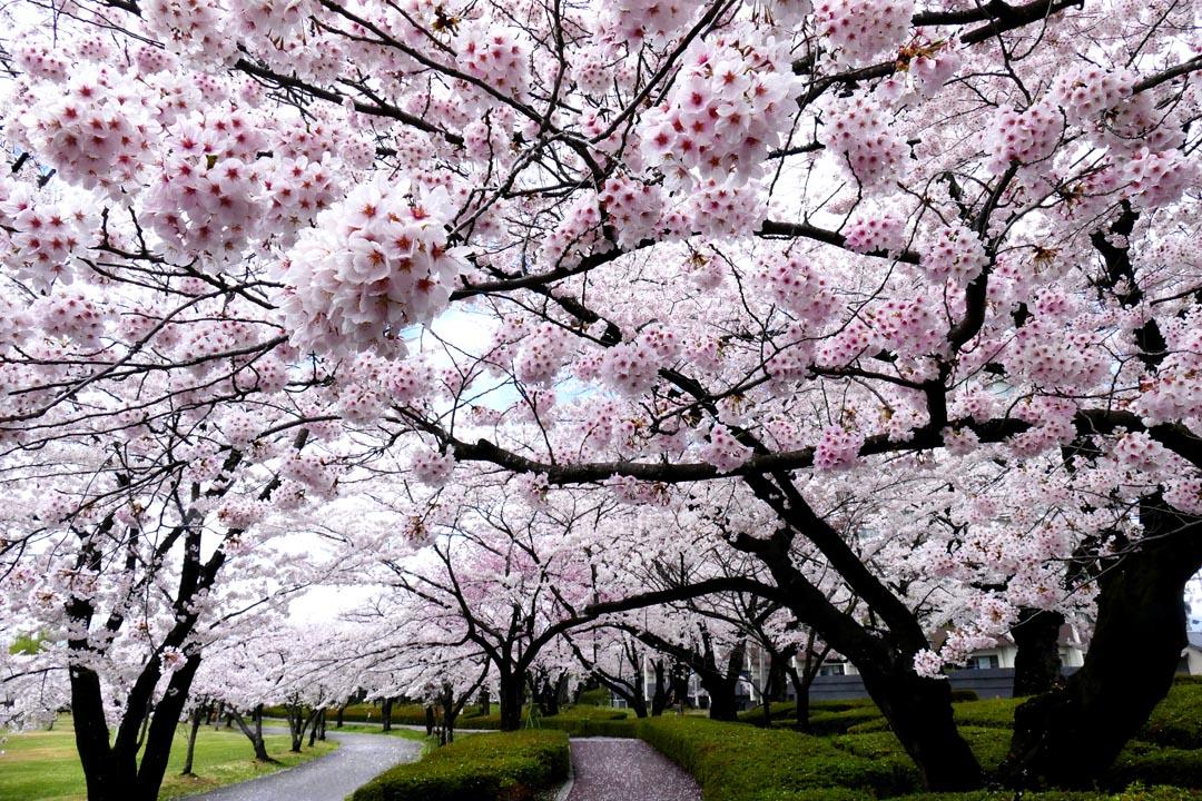 Фотообои деревья с белыми цветочками