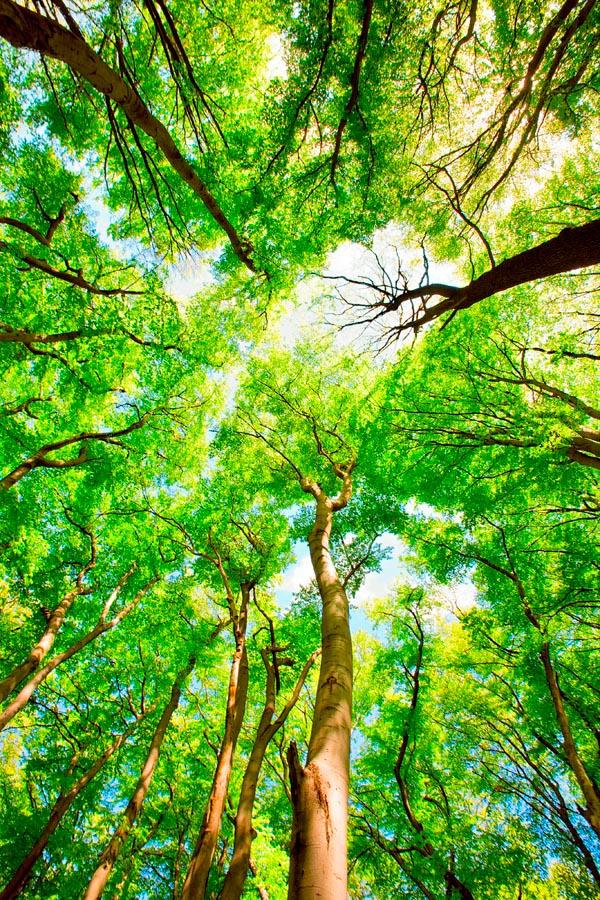 Фотообои Тонкие деревья