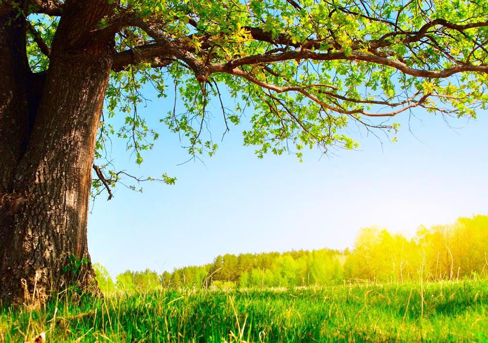 Фотообои Старое дерево