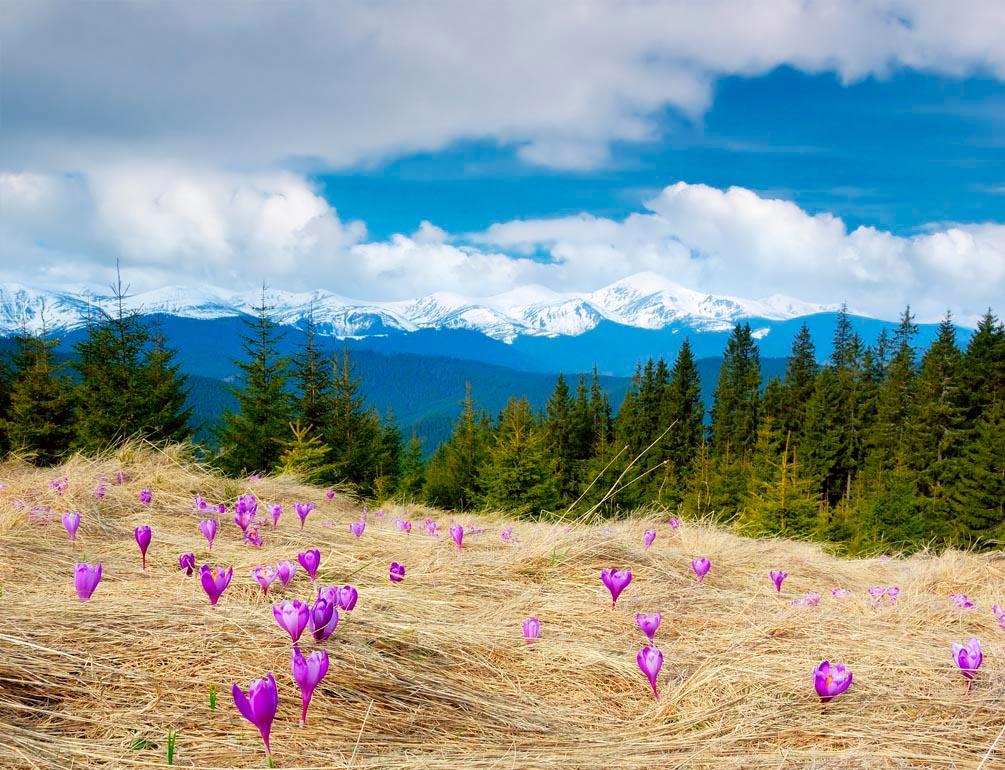 Фотообои Первоцвет весенний, ёлки