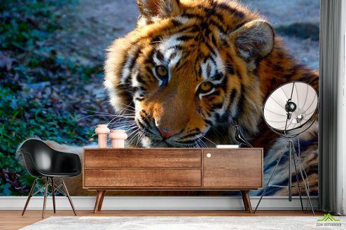 Тигры Фотообои Тигриный взгляд