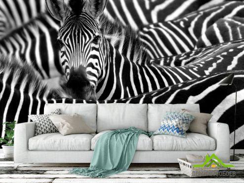 обои Зебры Фотообои Любопытная зебра