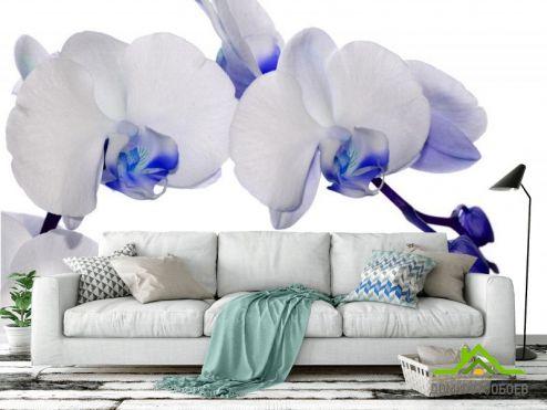 Орхидеи Фотообои орхидеи белые с синим