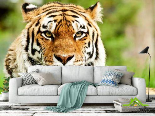Тигры Фотообои Пристальный взгляд тигра купить