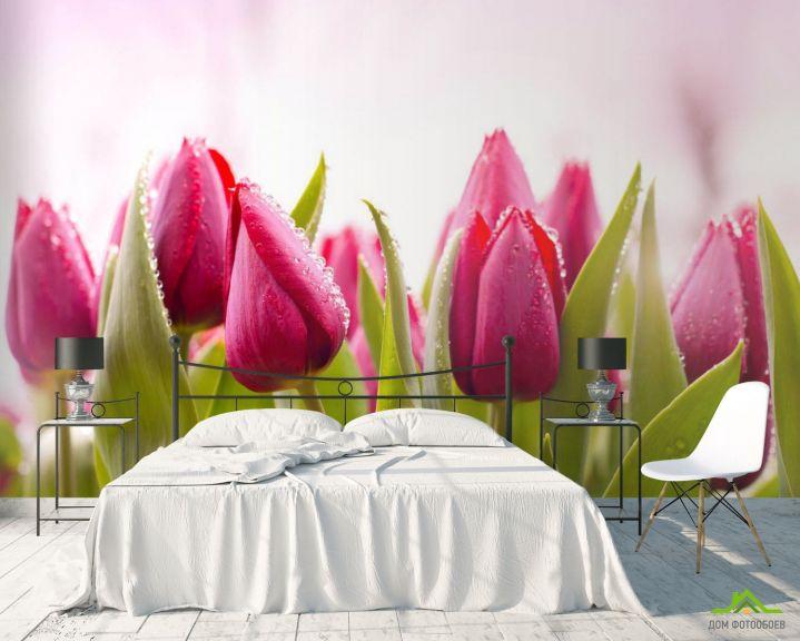 Фотообои Розовые тюльпаны