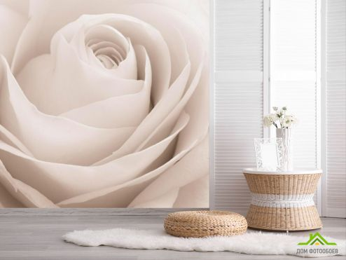 обои Розы Фотообои Роза белоснежная