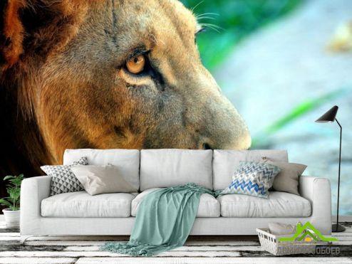 обои Львы Фотообои Лев