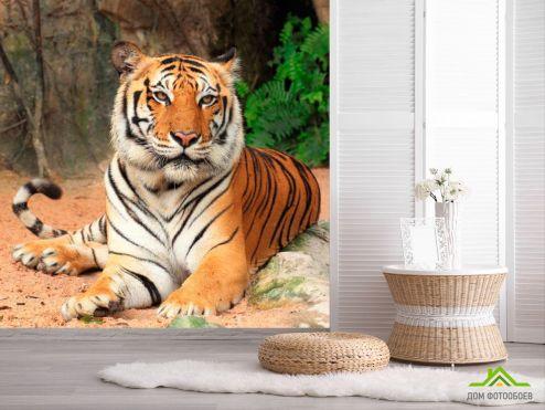 обои Животные Фотообои Тигр на отдыхе