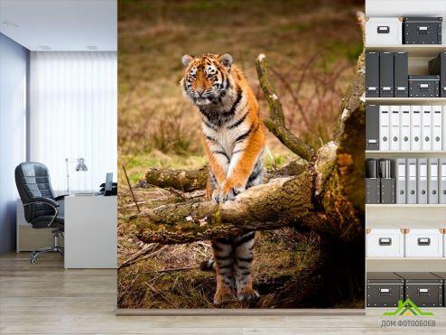 Тигры Фотообои Удивленный тигр