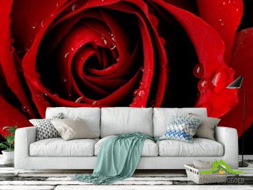 обои Цветы Фотообои Алая роза и роса