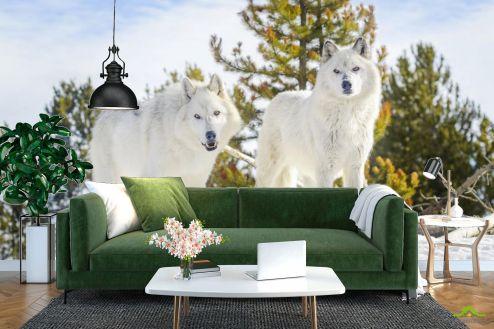 Фотошпалери Тварини Фотошпалери два білих вовка на снігу