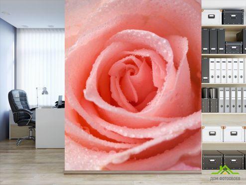 обои Цветы Фотообои Розово-кремовая роза