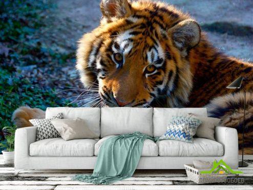 обои Тигры Фотообои Тигриный взгляд
