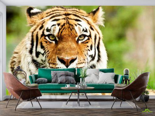 Тигры Фотообои Пристальный взгляд тигра