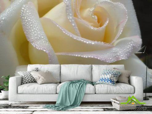 Розы Фотообои белая роза с каплями