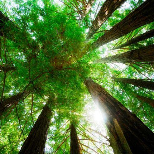 обои на потолок Фотообои Деревья, вверх