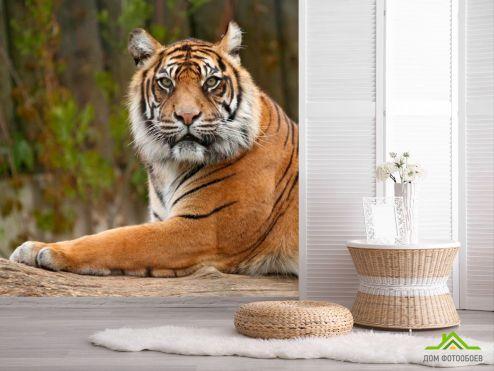 обои Животные Фотообои Настороженный тигр