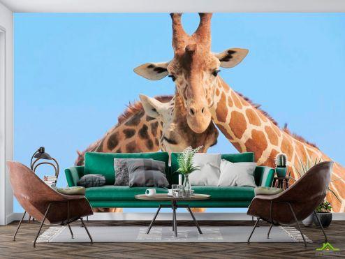 Жирафы Фотообои Две жирафы