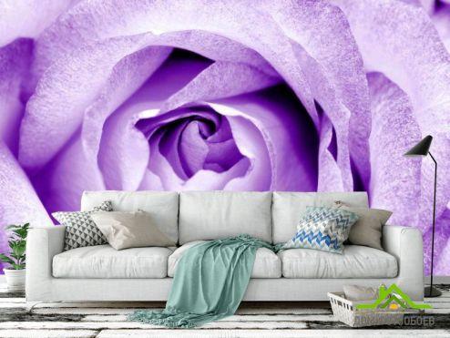 обои Цветы Фотообои Снежно-сиреневая роза