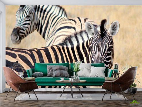 Животные Фотообои Настороженные зебры