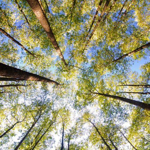 обои на потолок Фотообои верхушки деревьев