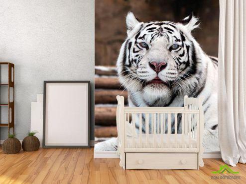 Тигры Фотообои Белый тигр