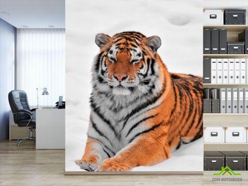 обои Тигры Фотообои Тигр в снегу
