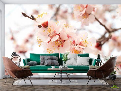 Абрикос Фотообои Цветущий абрикос весной