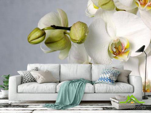 обои Орхидеи Фотообои крупная белая орхидея с каплями