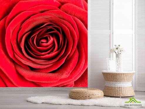 обои Цветы Фотообои Роза алая распустилась
