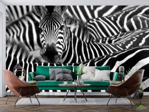 Животные Фотообои Любопытная зебра