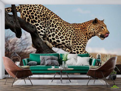 Животные Фотообои Охотящийся гепард